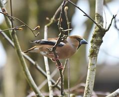 Hawfinch 1 (kjarnbítur) (Svenni and his Icelandic birds.) Tags: hawfinch kjarnbítur coccothraustescoccothraustes