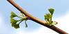 Nature is exploding (pe_ha45) Tags: gingko tree baum blätter leaves feuilles foglie springtime frühling arbre albero