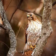 Adaptable Red (Goromo) Tags: redtailedhawk hawk buteo adaptable woods trees bird raptor birdofprey wildlife wild aprilsnow