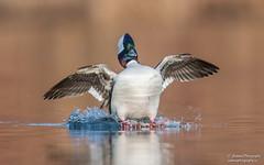 Bufflehead (salmoteb@rogers.com) Tags: bird wild outdoor nature canada ontario bufflehead duck lowangle wildlife water
