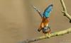 Die Belohnung,Kopula (Alcedo atthis)©Arne Flemke (Arne Flemke-Gezeiten Photography) Tags: bremen eisvogel kingfisher wümme wümmewiesen blockland