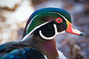 In the eye of the Wood Duck (KWPashuk) Tags: nikon d7200 tamron tamron18400mm lightroom luminar luminar2018 kevinpashuk kwpashuk wood duck bird waterfowl wildlife urbanwildlife nature outdoors lasalle park burlington ontario canada