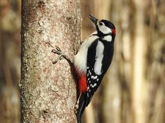 Great Spotted Woodpecker ♂ (Dendrocopos major) (eerokiuru) Tags: greatspottedwoodpecker gsw dendrocoposmajor buntspecht suurkirjurähn woodpecker bird p900 nikoncoolpixp900