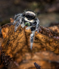 Cliffhanger (Kathy Macpherson Baca) Tags: animal spider earth nature invertebrates exoskeleton wildlife bug jumpingspider predator planet world preserve hunting unique fuzzy female smart creature