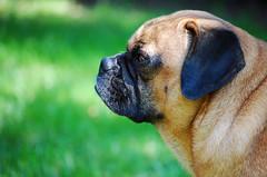 Brutus (hollyzade) Tags: dog puggle pug cute profile ear adorable outdoors outside grass eyes snout nikon nikond40 pet pets