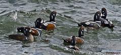 021718101654asmweb (ecwillet) Tags: harlequinduck duck nikon nikond500 nikon200500f56 ecwillet ericwillet