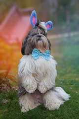 James en Lapin de pâques (EmelineJames) Tags: dog chien animal nature shihtzu lapin pâques