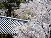 Hasedera spring (HarQ Photography) Tags: speedmaster85mmf12 fujifilm fujifilmxseries gfx50s zhongyioptics sakura cherryblossom nara japan hasedera spring