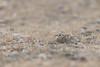 Female Painted Sandgrouse | Pterocles indicus (Paul B Jones) Tags: india paintedsandgrouse pteroclesindicus ranthambhorenationalpark rajasthan nature wildlife canon eos1dxmarkii ef500mmf4lisiiusm female asia asian tourist tourism travel ecotourism indian indiya inde indien indië safari