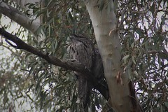 A pair of tawny frogmouths (RossCunningham183) Tags: canberra australia botanicalgardens birds tawnyfrogmouth tree eucalypt