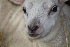 Good News  for the Sheeps & Lambs (excellentzebu1050) Tags: lamb newlife newborn animal animalportraits farm livestock indoors coth5 sunrays5
