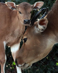 banteng blijdorp BB2A6664 (j.a.kok) Tags: animal blijdorp herbivore mammal zoogdier dier banteng koe cow