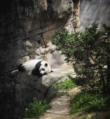Living on the Edge (TuthFaree) Tags: animalplanet panda zooatlanta atlanta ga georgia sleeping dangerous rocks nature animal hss slidersunday postprocessed light shadow