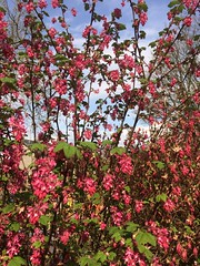 Redcurrant. (Bennydorm) Tags: clouds sky inghilterra inglaterra angleterre europe uk gb britain england cumbria furness ulverston iphone5s red attractive jardin nature springtime spring colourful colours april redcurrant garden bush