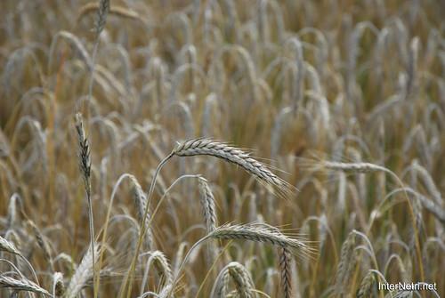 Пшениця, жито, овес InterNetri  Ukraine 037