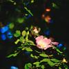 flower of a dogrose (Vadim Beldiy) Tags: nature flower dogrose green nikon nikond600 spring springtime мсгелиос81н гелиос81н helios81n helios81h naturebynikon bokeh ff mf fullframe manualfocus manuallens