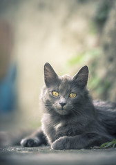 Chat gris (Marc Andreu) Tags: chat cat animal indoor eyes yeux yellow green jaune look vert velue bokeh hairy fã©lin nature gris blanc mignon regard patte kitten chaton chartreux grey marcandreu félin mammifère