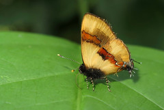 Calycopis buphonia (Camerar 4 million views!) Tags: butterfly calycopisbuphonia lycaenidae peru butterflies insect