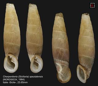 charpentieria (siciliaria) spezialensis italie 23mm65