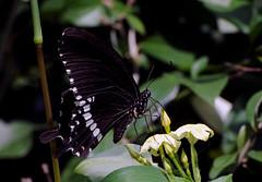 DSC_3233 (rajashekarhk) Tags: butterfly lalbagh botanicalgarden beauty bengaluru nikon nature naturephotography green flower colours capital karnataka southindia rajashekar hkr