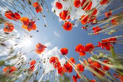 IMG_1292 (jet_447) Tags: nature naturephotography naturelovers flowers fleur fleurs flower blue purple yellow red green ultrawideangle wideangle bluesky canon canonfrance canon6d 6d irix15 irix irix15mm 15mm irix15mmf24 naturegood isere rhone rhonealpes auvergnerhonealpes photographer photography photographie photographe cartepostale cartepostalefrance france francemylove francecartepostale igfrance igersfrance hellofrance jaimelafrance