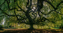 The Tree of Souls II (The Black Fury) Tags: tree nature old landscape sunrise normandie bayeux fabuleuse hêtre spring sun arbre green light