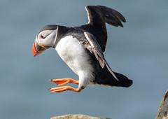 DAS_5148.jpg (DaveS1959) Tags: farneislands unitedkingdom northumberland england continents fraterculaartica birds auks seabirds fauna europe atlanticpuffin inflight