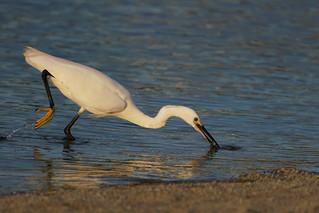 Little egret catch a fish