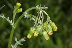 Senecio vulgaris, le séneçon commun. (chug14) Tags: unlimitedphotos plantae plante fleur flower asteraceae composées séneçoncommun seneciovulgaris