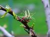 Das Prinzip Hoffnung / The principle of Hope (rudi_valtiner) Tags: blüte blossom frucht fruit marille aprikose garten garden obstbaum fruittree flatz niederösterreich loweraustria österreich austria autriche grün green frühling spring springtime apricot