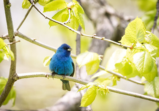 indigo tree sitting