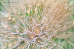 Sipan Seed Head (calderdalefoto) Tags: macro plant botanical seed seeds head nature croatia sipan