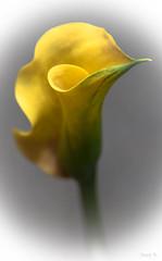 Soft Yellow (Jocey K) Tags: callalily newzealand nikond750 christchurch flower