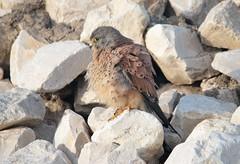 Peneireiro vulgar // Falco tinnunculus // Common krestel (Jangada2011) Tags: peneireirovulgar falcotinnunculus krestel