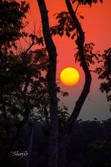 End of the day (Shojib77) Tags: goldensunset sun redsunset sunsetoverthetree srimangal sylhet colors nature yellow orange pink black trees leisure treebranches fantasticnature
