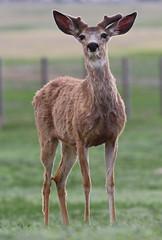 Mule Deer (Circled Thrice) Tags: deer muledeer animal mammal wild wildlife nature natural rma rockymountainarsenal nationalwildliferefuge refuge commercecity aurora denver urbanpark park colorado co canon eos rebel t5i 300mm