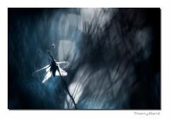 Asca M11 Dg Bd Sg Rd1 IMG_4678-2 (thierrybarre) Tags: ascalaphe papillon bleu noir mélange anarchie bazar échevelé bokeh sombre mood ambiance cauchemar peur froid