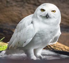 Mouse? (Scriblerus) Tags: snowyowl owl lincolnparkzoo