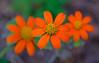 Kiron / Lester A. Dine 105mm f2.8 Macro  /  Fuji X-T2 (Mircea D. Tagui) Tags: kironlesteradine105mmf28 vintagelenses bokeh flowers macro colors orange mountsbotanicalgarden minoltamdmcmount fujifilmxt2 velvia fujifilmvelvia velviafilmsimulation