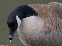 Canada Goose (david byng) Tags: 2018 spring vancouverisland pacificocean birds rainforest canada canadagoose britishcolumbia esquimaltlagoon colwood