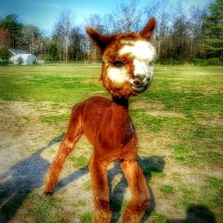 An alpaca named