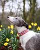 (emilywalkr) Tags: 50mm accessories nature dogwalk park portrait greyhound animals dog canon bokeh spring daffodils cathkidston lurcher