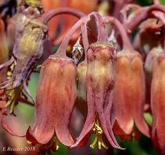 Pig's Ear (Cotyledon orbiculata) (Greatest Paka Photography) Tags: succulent flower pigsear plant cotyledonorbiculata arizonacactusgarden stanforduniversity paloalto fleshy flora red