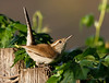 Fredrica Fancypants (rsheath76) Tags: bewickswren wren bird birding backyard attitude