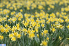 IMG_6307 (superingo78) Tags: monschau höfen narzissen blüte frühling natur schön