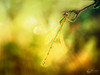 Leste vert (Olympus Passion eric leroy) Tags: vert leste odonate libellule zygoptère olympus omd em1 mkii zuiko 30mm macro proxi 30macro insectes