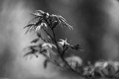 spring #2 (fhenkemeyer) Tags: bud leaves spring bw nature