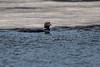 Common Loon-49116.jpg (Mully410 * Images) Tags: commonloon hastings birding loon birds ice avian birdwatching bird birder minnesota