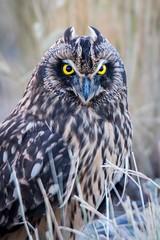 Short Eared Owl Portrait (mstrozewski1) Tags: animal bird birdofprey grass nature owl shortearedowl summer utah wildlife
