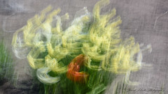 Flower Abstract (dschultz742) Tags: 04222018 d810 icm abstract nikkor nikon tulip flower